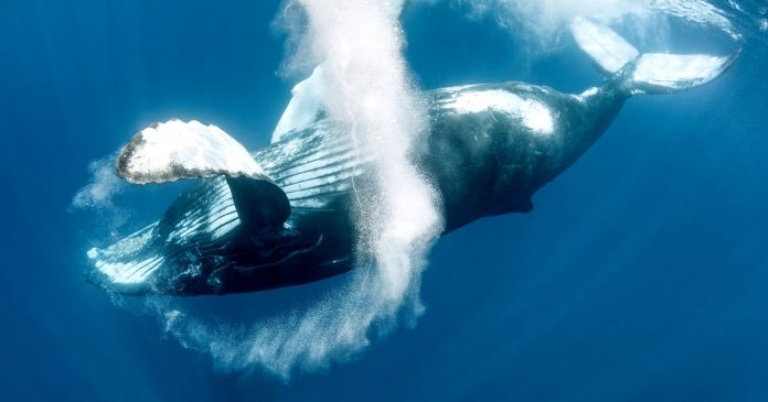 Learning With: 'These Whales Are Serenaders of the Seas. It's Quite a Racket.'