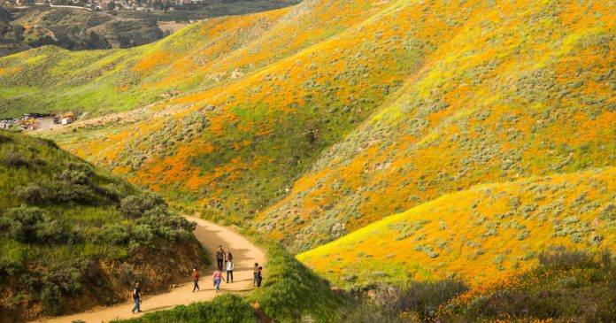 "Learning With: 'Under the Influence of a ""Super Bloom""'"