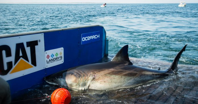 Lesson of the Day: 'Katharine, the Great White Shark Who Ghosted Her Trackers, Resurfaces'