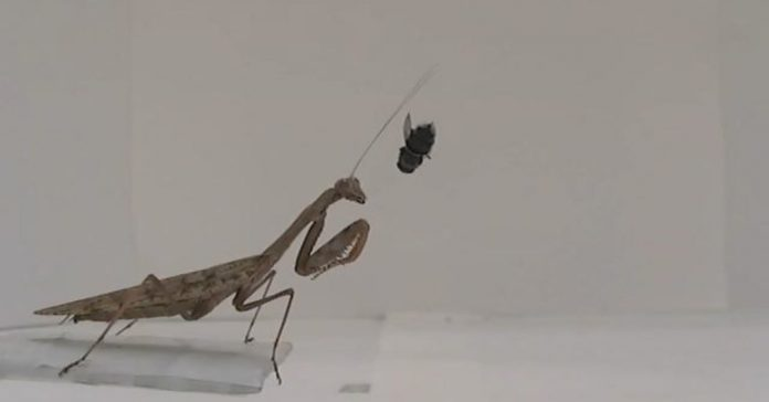 Lesson of the Day: 'Praying Mantises: More Deadly Than We Knew'