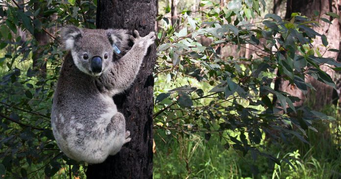 Lesson of the Day: 'Australia Gears Up for the Great Koala Count, Using Drones, Droppings and Dogs'