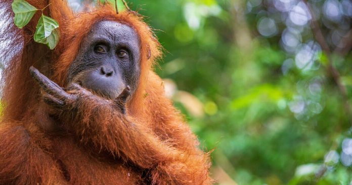 Fleeting Glimpses of Indonesia's Endangered Orangutans